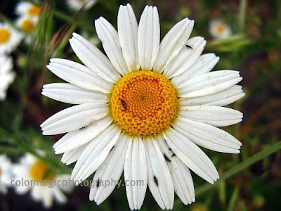Daisy with insects