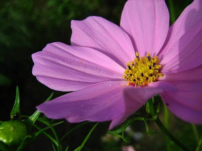 Purple cosmos flower-macro