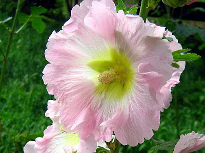 Beautiful pink hollyhock