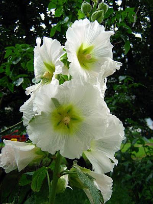 White hollyhock