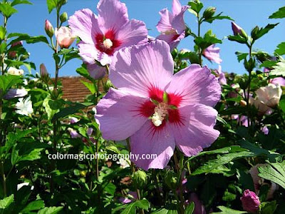 Rose of Sharon-pink