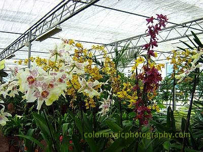 Beallara-Cambria Orchids in greenhouse