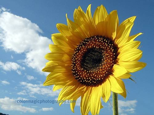 Bright sunflower against blue sky