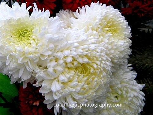 White chrysanthemum macro pictures of chrysanthemums white chrysanthemums mightylinksfo