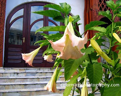 Brugmansia in front of the church entrance