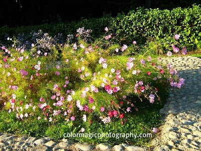 Cosmos flowers-colorful garden corner