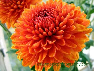 Golden-orange chrysanthemum