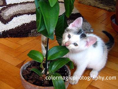 Cat chewing on an orchid
