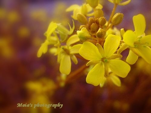 Rapeseed flower in warm tones