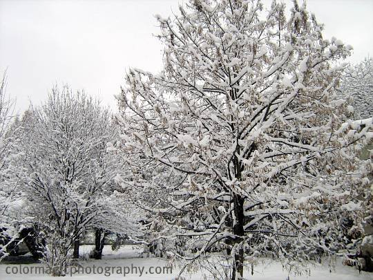 Maple trees covered by fresh snow