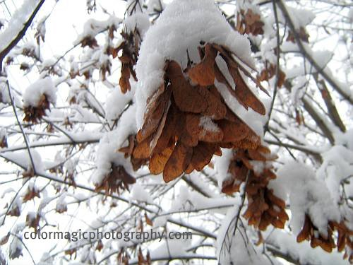 Maple seeds in winter-close-up