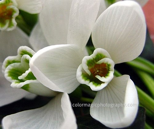 Snowdrop flowers - extreme close-up photograph of Galanthus flower center.