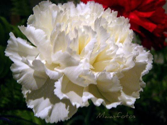 White carnation flower - extreme close-up photograph