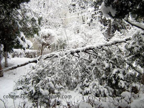 Broken pine tree under snow