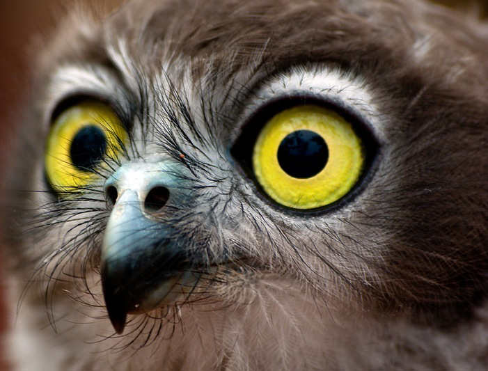 eyes animals cute owl funny animal birds adorable zone flickr barking pretty strange labels which