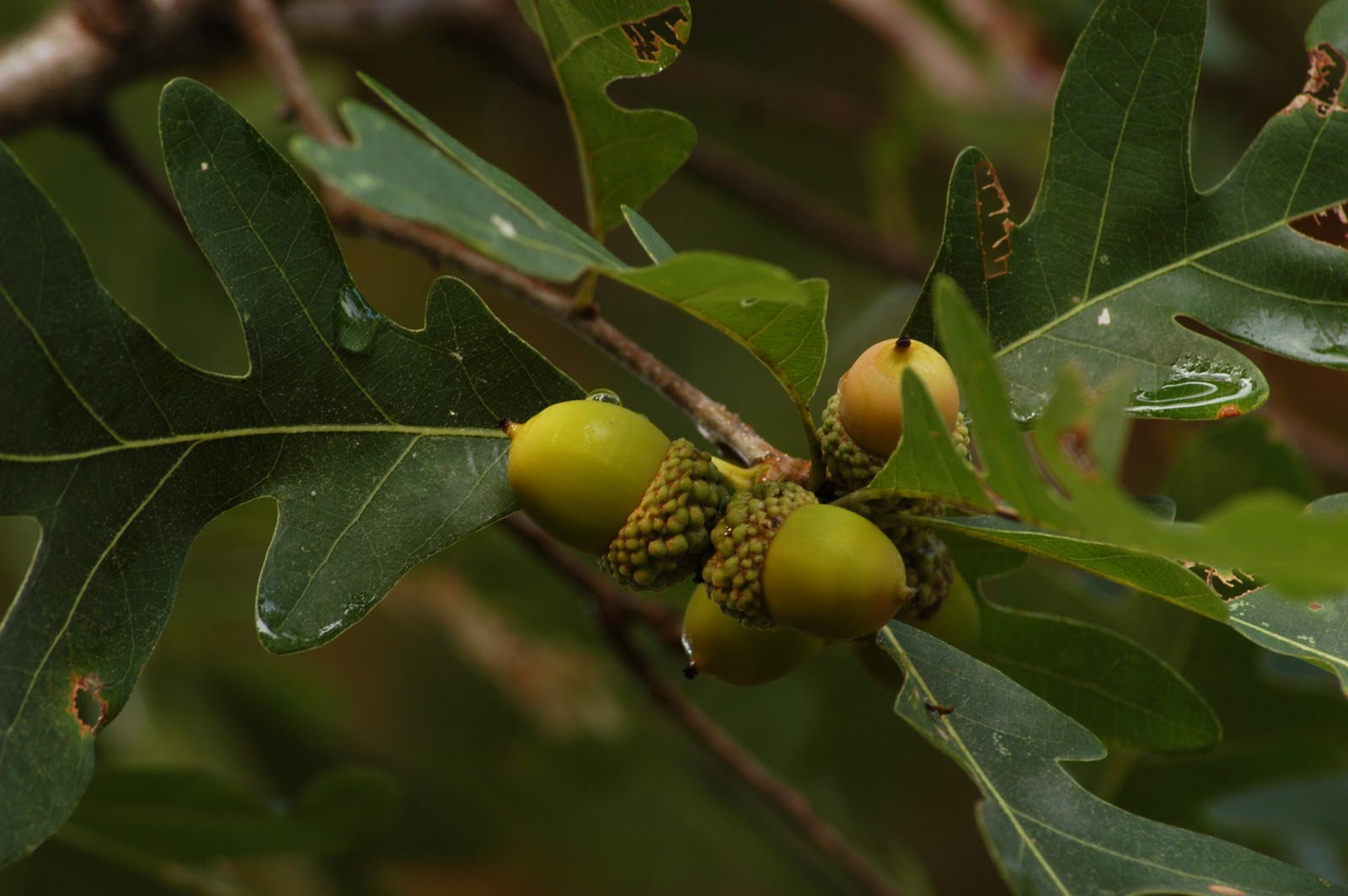 A Year With the Trees: White Oak - Quercus alba  A Year With the...