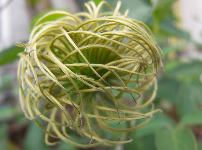 Mastering Horticulture: Clematis Seed Heads