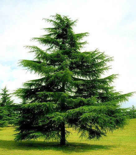Tubal trentino rvore de natal tannenbaum for Piante sempreverdi