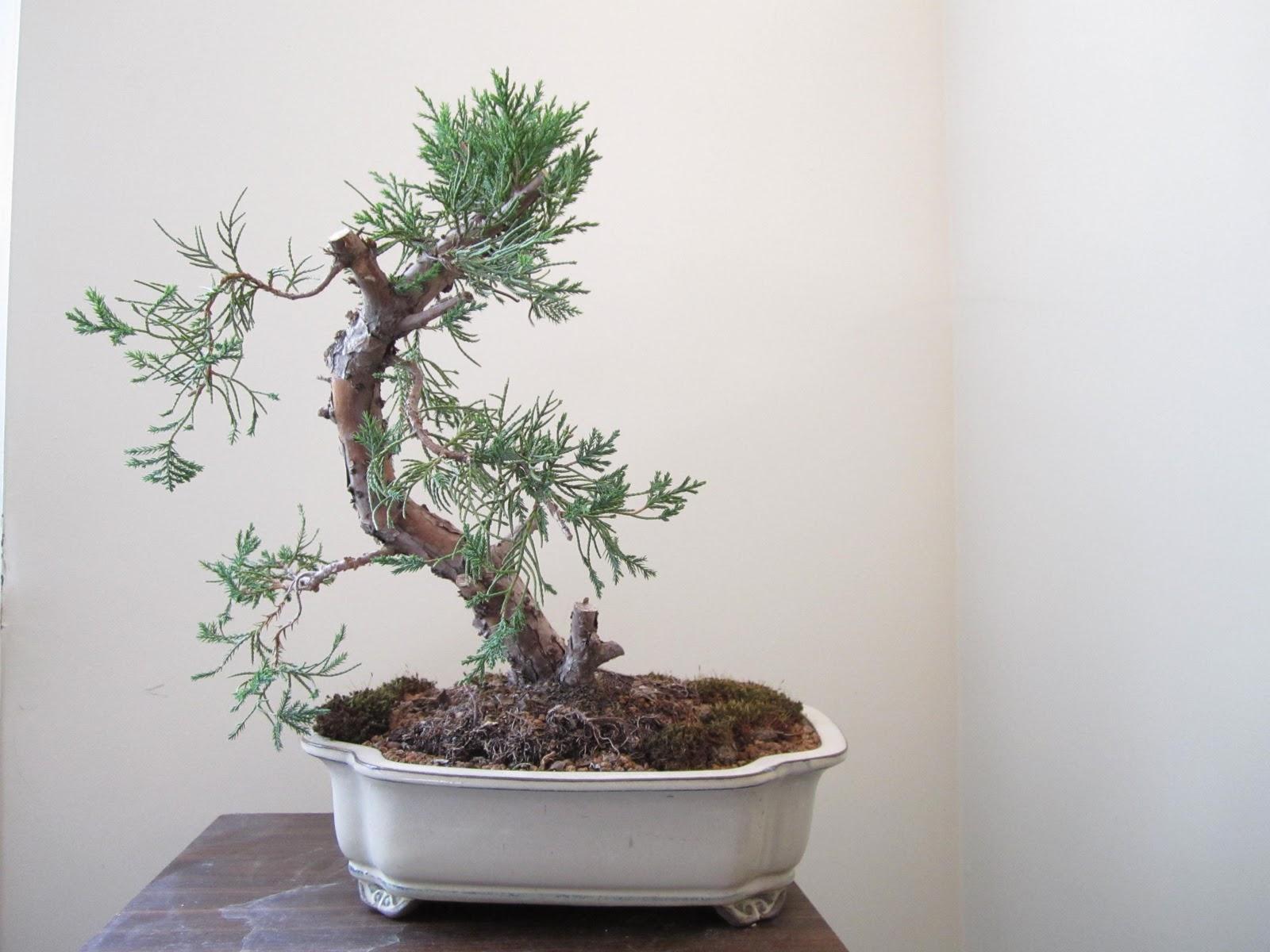 Bonsai Tree 24 Amazing Lowes Bonsai Inspirations