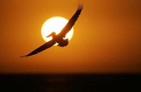 pelicansun.jpg