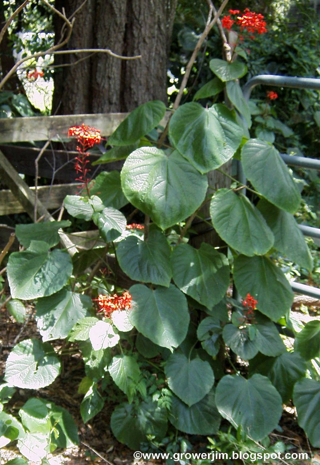 Garden Adventures Clerodendrum Speciosissimum Glorybower