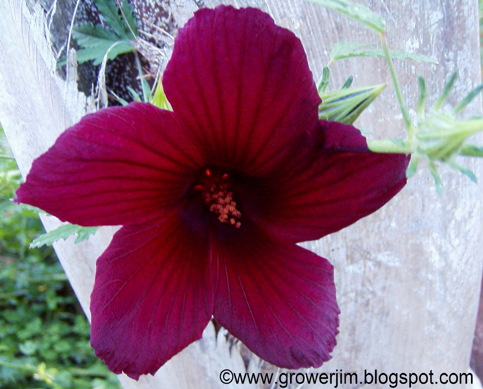 Garden adventures hibiscus radiatus the red velvet flowers of hibiscus radiatus make this species a must have among the fall and winter blooming varieties of hibiscus like some other izmirmasajfo Choice Image