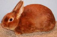 Batusangkar Kelinci