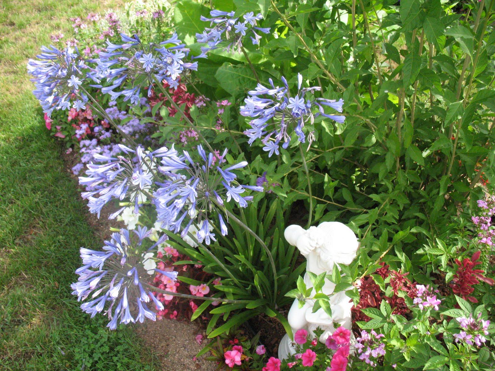 "Roses du jardin Chêneland: Agapanthe ""Amsterdam"""
