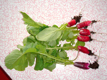 French radishes