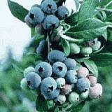 Bluecrop blueberries