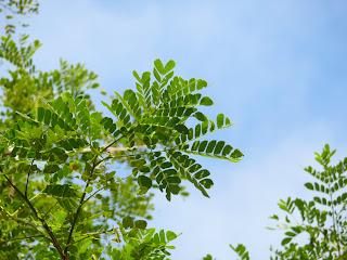 保力林場: 雨豆樹