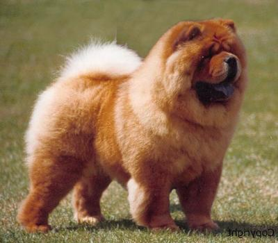 Dog Breed Gallery Chow Chow Top Small Dogs