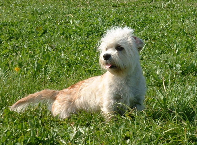 Vizsla Intelligence Dog Breed Gallery: Dan...