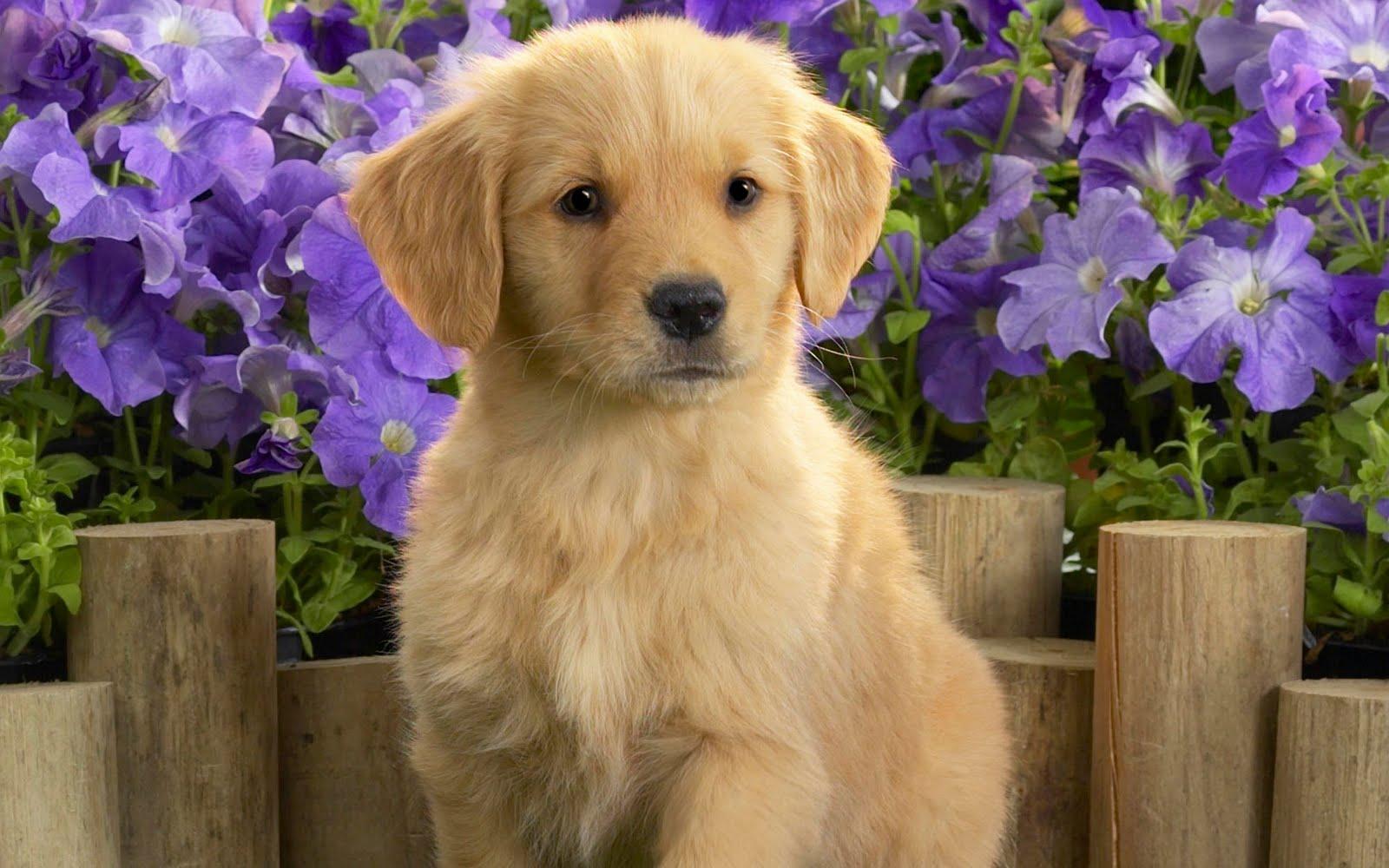 Labrador Retriever Desktop Wallpaper Hd