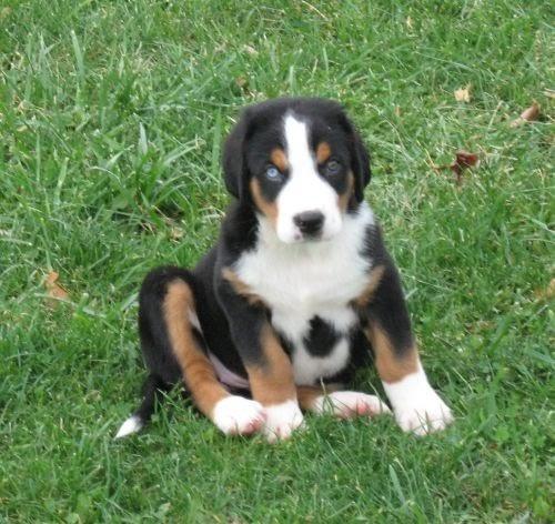 Pet's World: Greater Swiss Mountain Dog