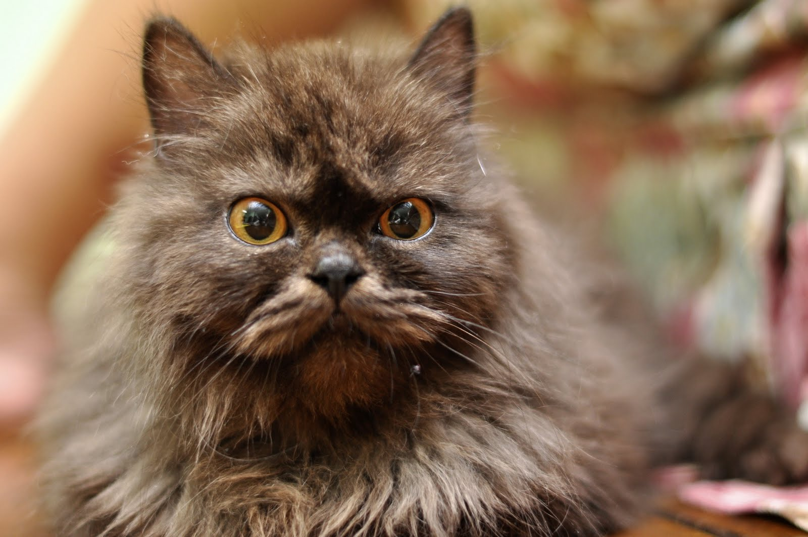 Photography Cute Persian Cats Your Daily Dose Of