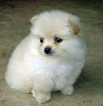 Smallest Natural Dog Breed Name