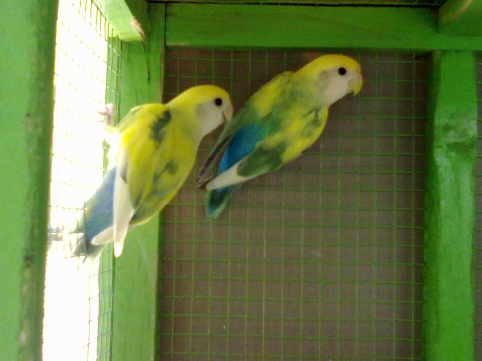 gambar lovebird biru langit   koleksi gambar hd