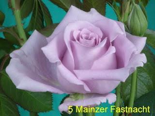 голубые и радужные розы минск беларусь
