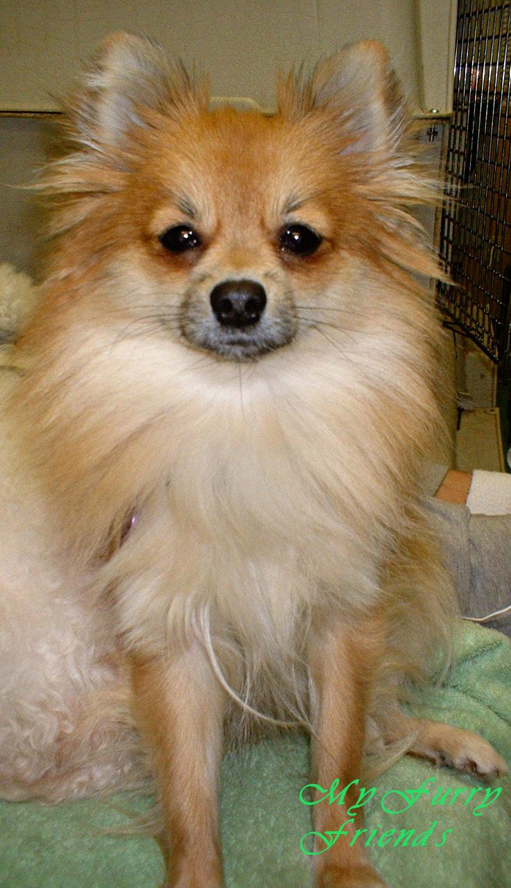 Pomeranian Short Haircut : pomeranian, short, haircut, Grooming:, Good,, Furry:, Grooming, Pomeranians