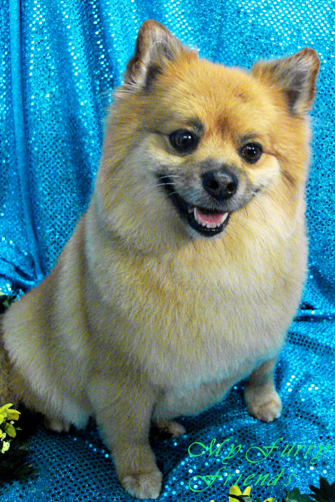 pomeranian trimmed pet grooming the good the bad the furry grooming 6202