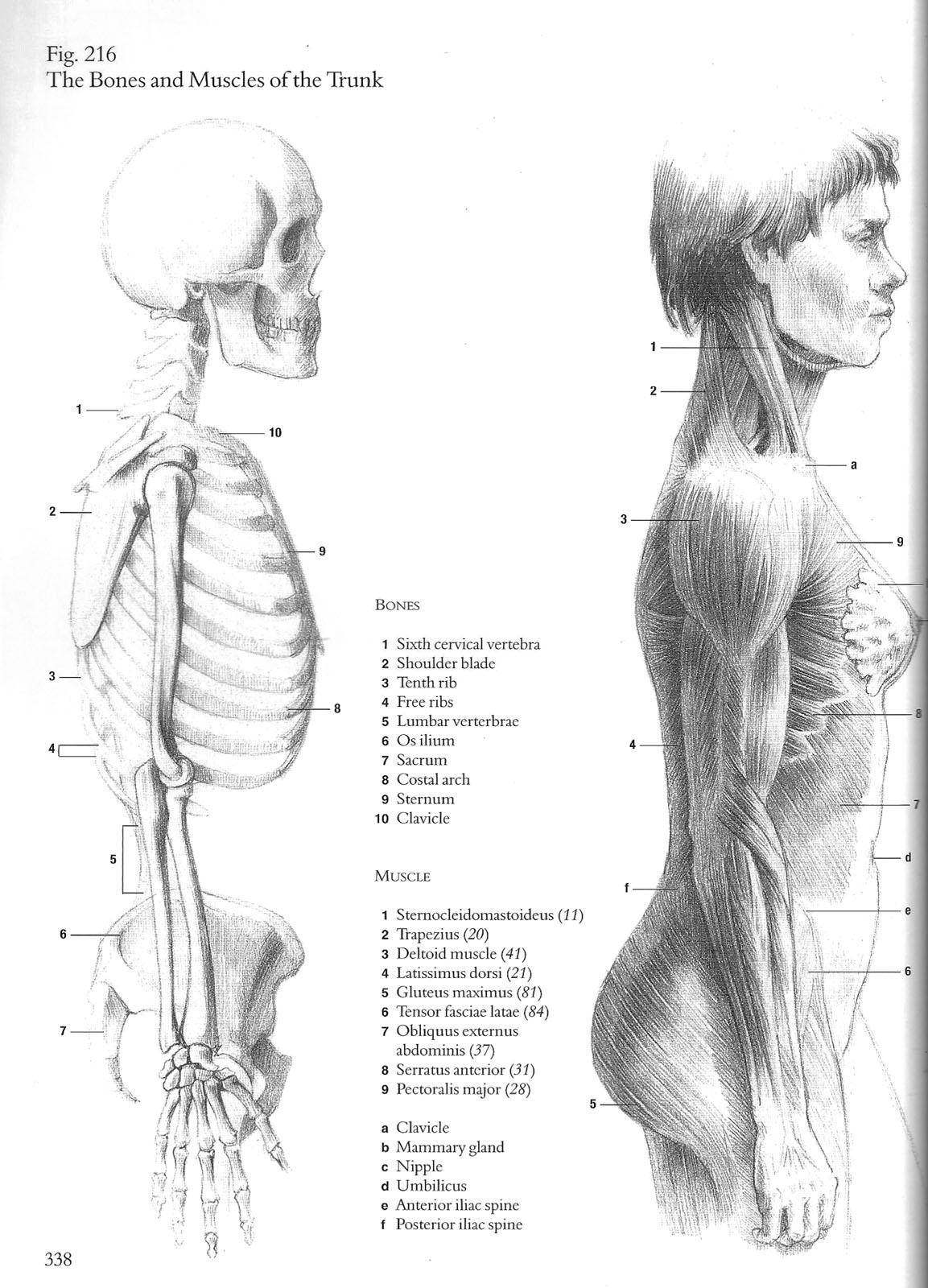 hight resolution of anatomy torso muscle study