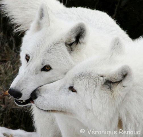 White Wolf : January 2011