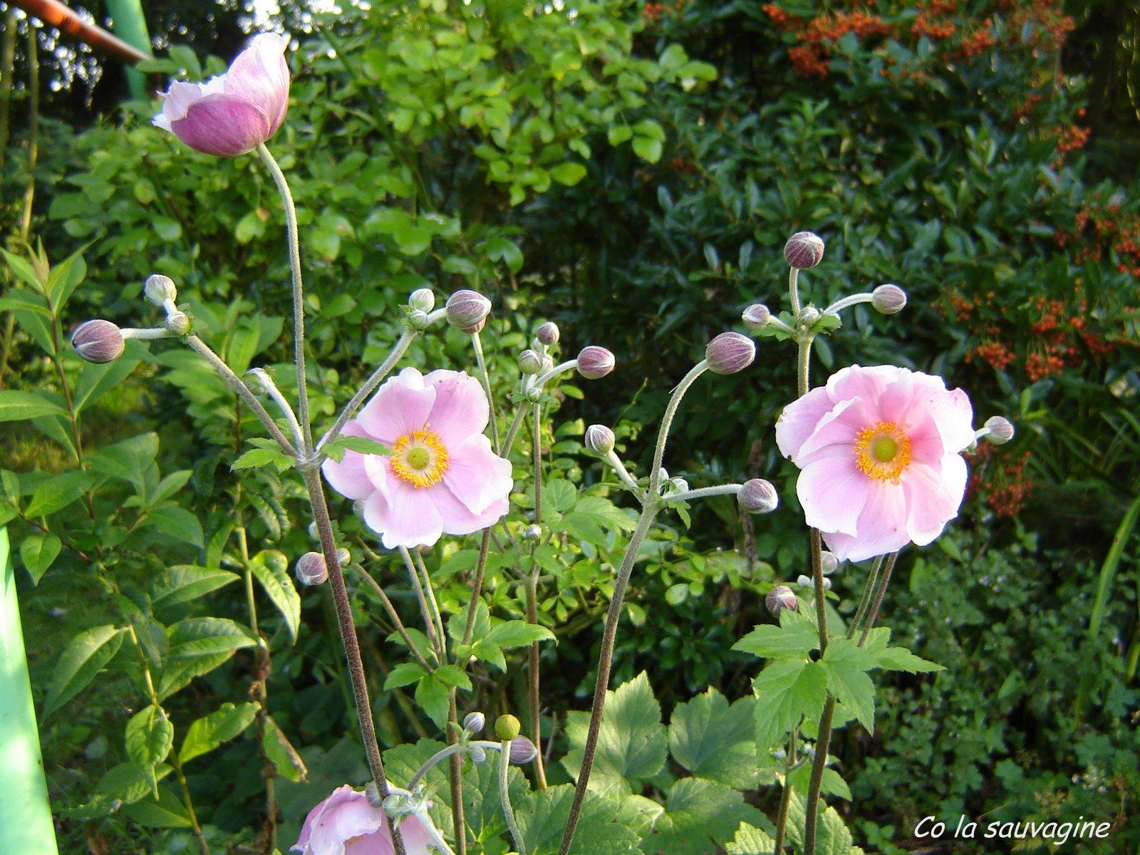 Fleurs de la Sauvagine: Fleurs de saison, Anemone ...