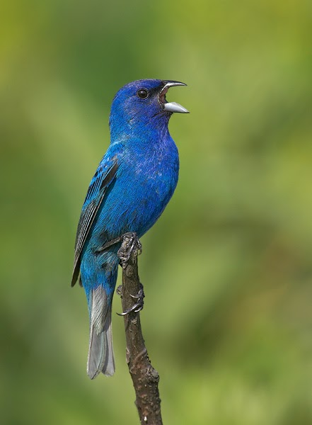 Pajaro Twitter Azulejo