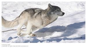 View topic - Wolf rp(Accepting! Alpha female wants male