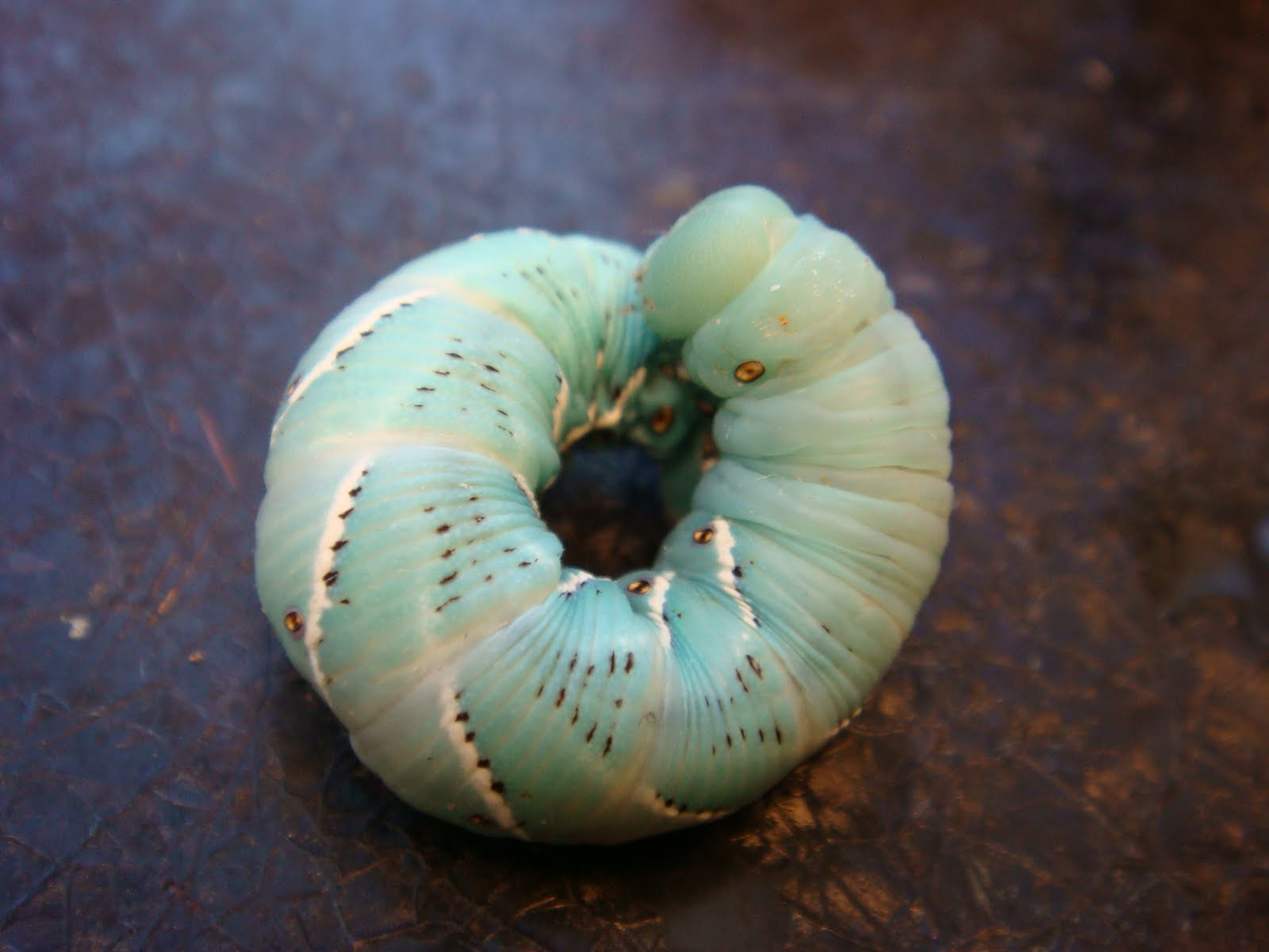 Morphing Morphology --- From Caterpillar Locomotion to ...
