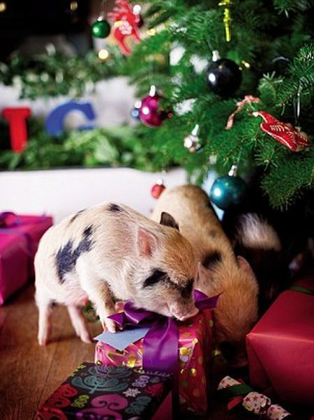 Funny Pictures Cute Little Pigs In Christmas Tree Photos-6591