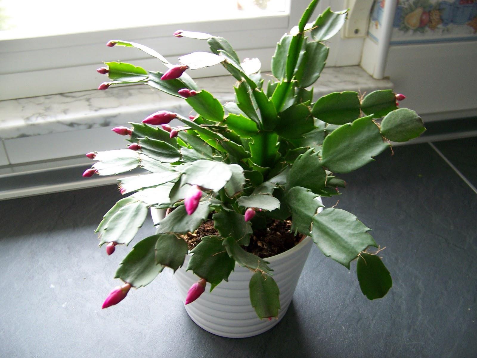 Plantas De Invierno Cactus De Navidad Plantas Y Flores - Nombres-de-plantas-de-exterior