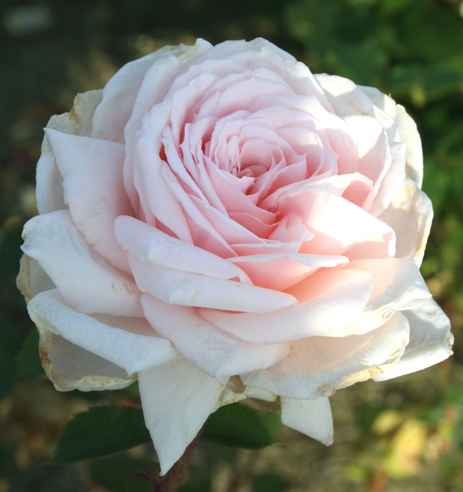 Garden Musings A Pale Ivory Pink Rose